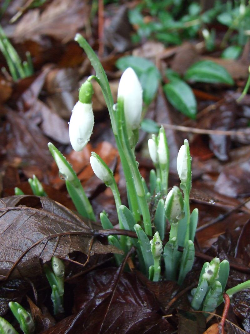 Snowdrops jan 11 p1 (1)