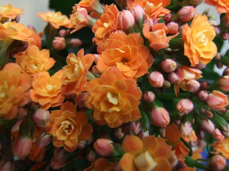 Orange Calandiva June 11 (4)