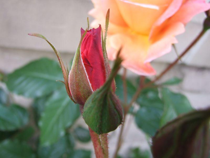 Orange Rose June 11 (1)