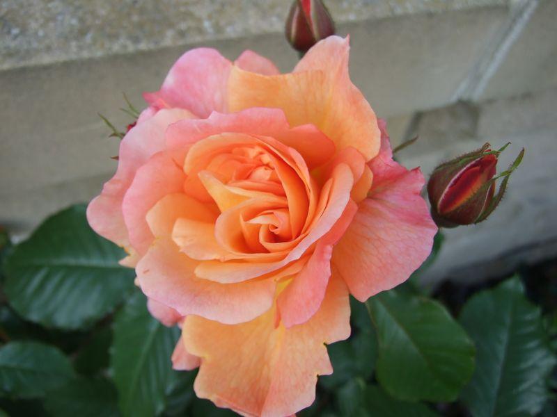Orange Rose June 11 (2)