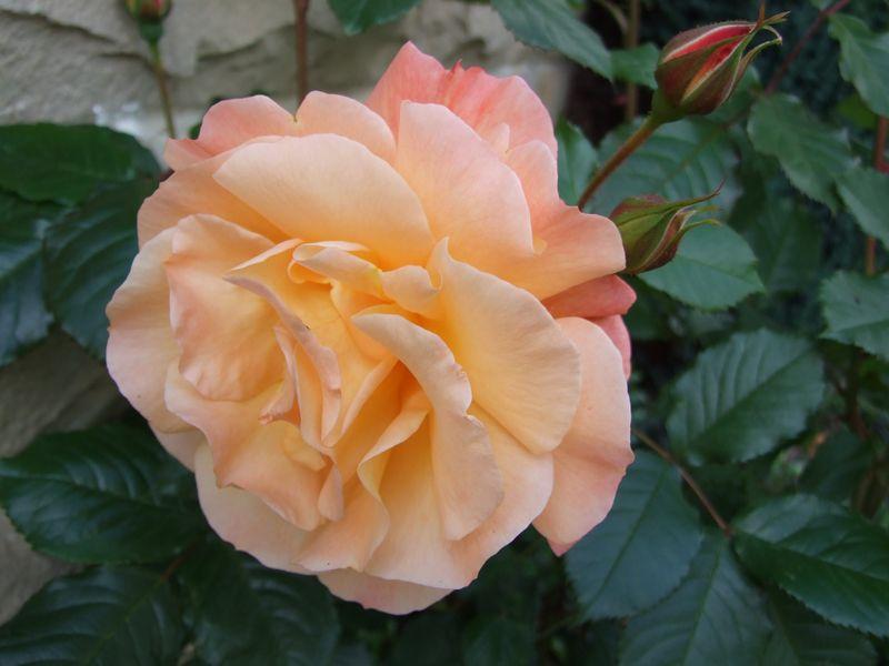 Orange Rose June 11 (3)