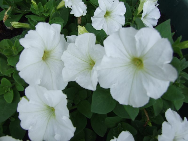 Flowers In July Petunia 2015 010