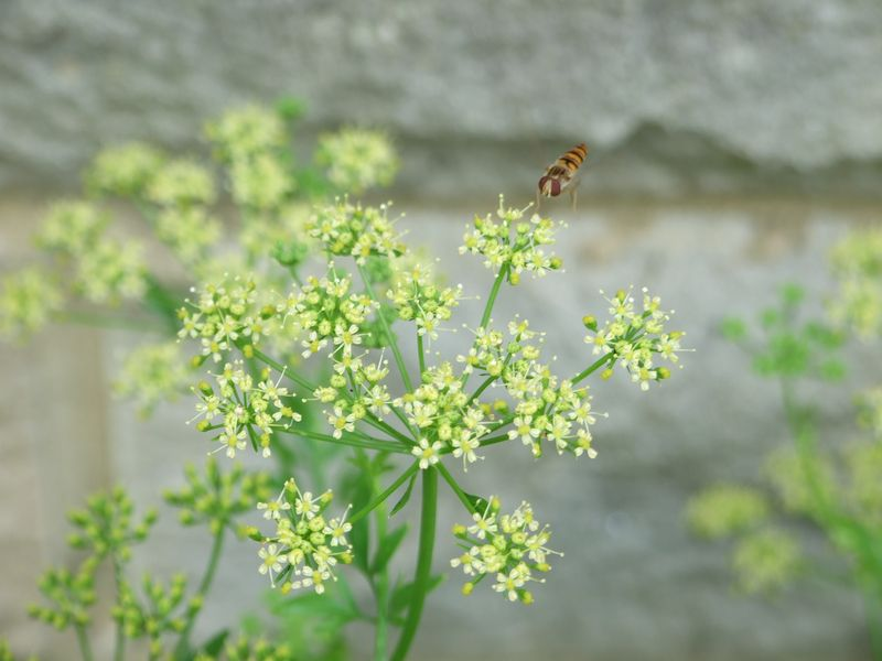 Flowers In July Parsley & Hover Fly 2015 015