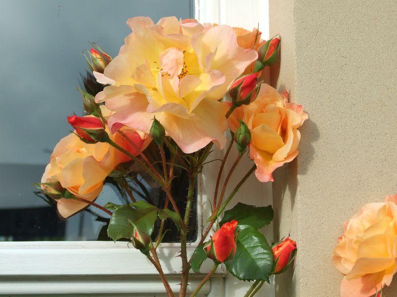 Roses in September 2
