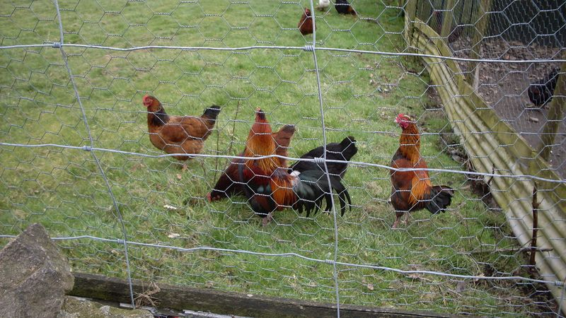 Chickens at Haworth