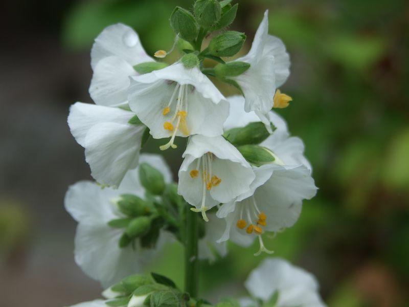 Flowers in July Jacob's Ladder, Polemonium 037