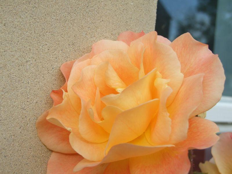 Roses in September 5