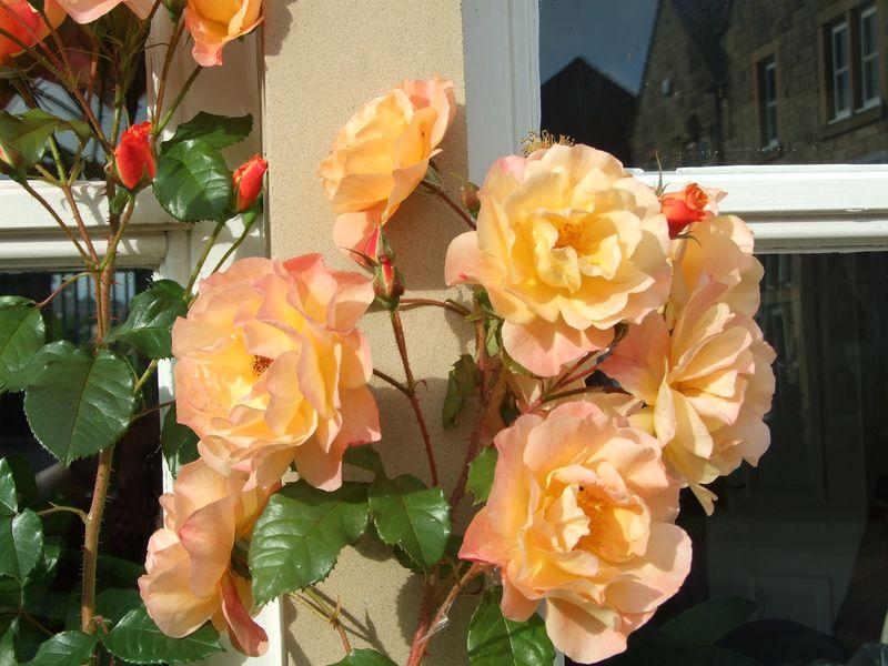 Roses in September 3