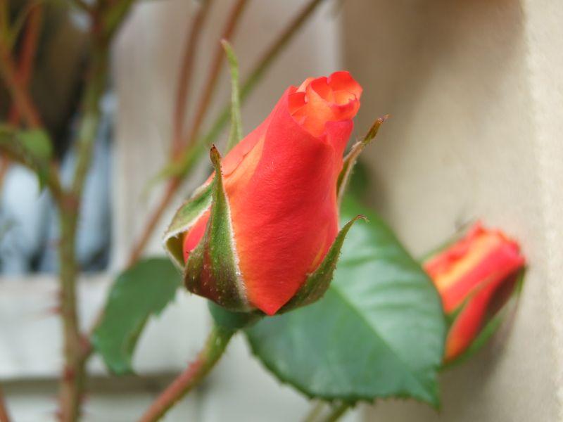 Roses in September 4