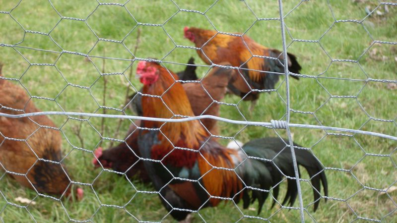 Chickens at Haworth 3